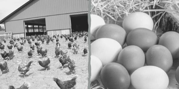 yumurta üretimi yapmak